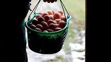 Hoher Schaden durch Vogelgrippe: Verband: Es gibt Engpässe bei Bio-Eiern