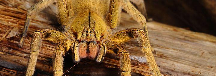 Biss mit Folgen: Die giftigsten Spinnen der Welt