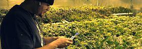 Droge wird Milliardengeschäft: Trump kann Cannabis-Boom nicht stoppen