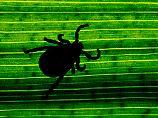 Auwaldzecke ist sehr lange aktiv: Weiterer Überträger von FSME entdeckt
