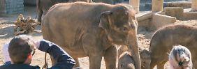 Misshandlungen in Hannover?: Zoo will angebliche Elefanten-Quälerei prüfen