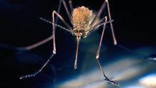 Na, hören Sie sie? Das Summen erzeugt die Mücke im vorderen Körper mithilfe ihrer Flugmuskulatur.