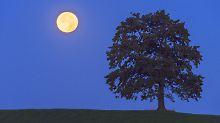 Sternenhimmel wird sommerlich: Vollmond zeigt sich nur kurz und klein