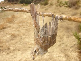 Ein Neuntöter klebt aufZypern an einer Leimrute fest.