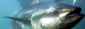 Thunfisch-Streit: Mexiko erringt Sieg gegen die USA