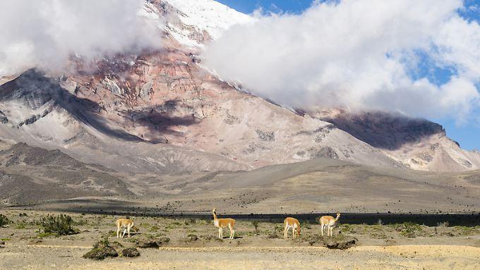 Postkartenmotiv: Vikunjas vor dem Gipfelaufbau des Chimborazo.