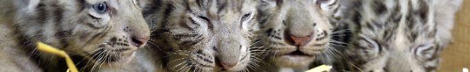 Der Tag: 19:31 Österreich freut sich über weiße Tiger-Vierlinge