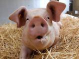 Gutachten belegt Tierquälerei: Greenpeace: Schweinemast ist gesetzwidrig