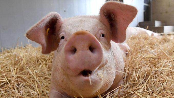 Die Deutschen essen vierzig Kilogramm Schweinefleisch pro Jahr. Wie die Tiere gehalten werden belegt nun ein Gutachten.