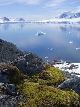 Mit Moos bewachsener Fels und Meeresbucht in der Antarktis, Paradise Bay.