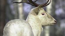 Ihr Tod soll Unglück bringen: Mythos schützt weiße Hirsche