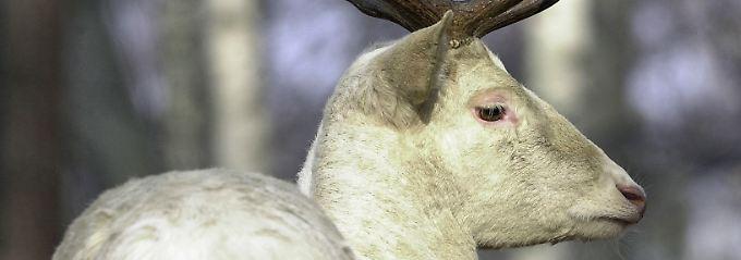 Ihr Tod soll Unglück bringen: 27.5. Mythos schützt weiße Hirsche