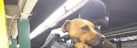 In der Tasche in die U-Bahn: New Yorker Hundebesitzer werden kreativ