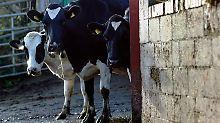 4000 Kühe fliegen nach Katar: Wie ein Unternehmer die Saudis überlistet