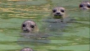 Verwaist im Wattenmeer: Seehundstation macht Heuler fit für Rückkehr in die Natur