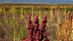 Quinoa-Feld in Bolivien.