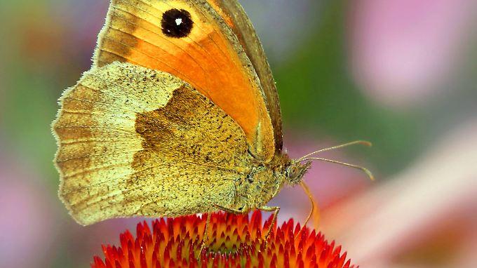 Betroffen sind Insekten, Vögel und Pflanzen. Hier ein Großes Ochsenauge auf einem Roten Sonnenhut.