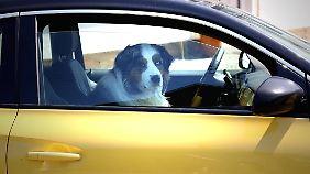 Tierschützer warnen: Hunde dürfen auf keinen Fall allein im Auto gelassen werden, - auch nicht für wenige Minuten.