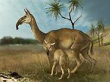 Sie lebten einst in Südamerika und sahen wohl aus wie eine Mischung aus Lama, Kamel, Antilope und Nashorn: Macrauchenia.