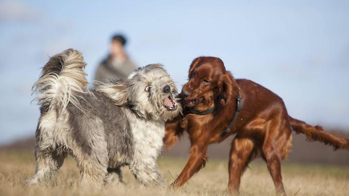 Links ein Mischlingshund, rechts ein Irish Setter. Lässt sich sagen, welcher robuster ist?