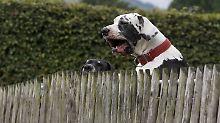 Opfer außer Lebensgefahr: Vier Doggen greifen Spaziergängerin an