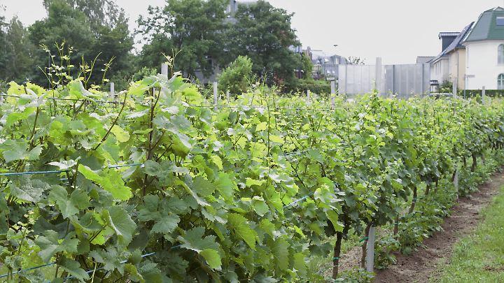 Das Weingut in Britz wird nicht kommerziell betrieben.