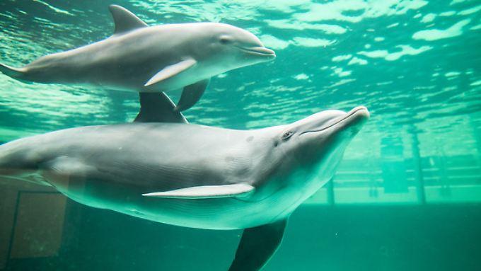 Um Konflikte in engen Delfinbecken zu vermeiden, setzen Zoos Diazepam ein.