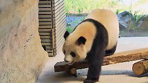 Rückwärts durch die Pubertät: Berliner Pandadame bereitet Besuchern Sorgen