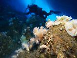 Einmalig im Tierreich: Bei Seespinnen ersetzt der Darm das Herz