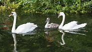 Sie schwimmen fast ein Jahr mit den Eltern, bis aus dem grauen Flaum ein weißes Federkleid geworden ist.