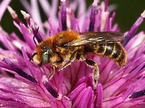 Es gibt etwa 30.000 unterschiedliche Wildbienenarten auf der Erde, in Deutschland sind es zwischen 500 und 600.
