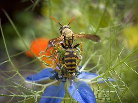 Für Wespen ist es derzeit oft zu feucht in Deutschland.
