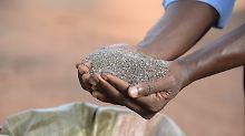 """""""Superfood""""-Anbau auch in Europa: Chia-Importe kommen zunehmend aus Afrika"""