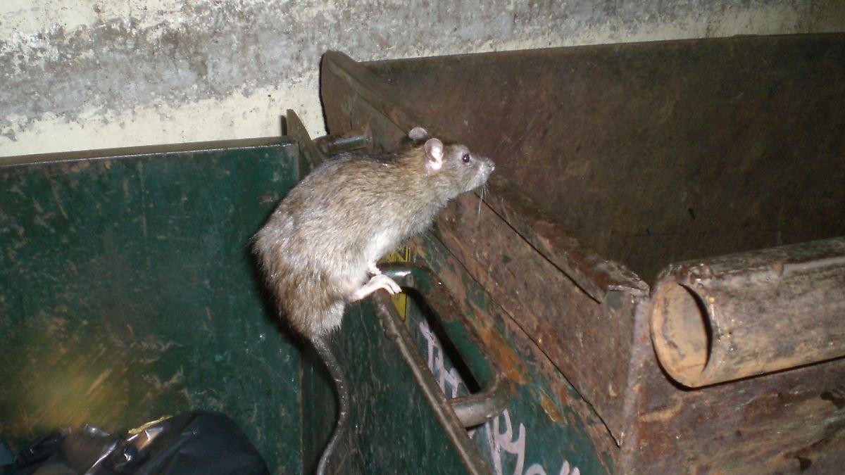 Ratten unterwandern Washington D.C.