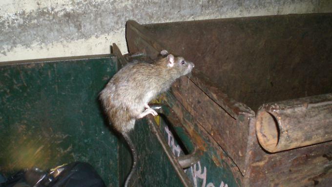 Eine von zahllosen Ratten, die nachts in Washington D.C. unterwegs sind. Es gibt kaum Hindernisse für die Nagetiere.