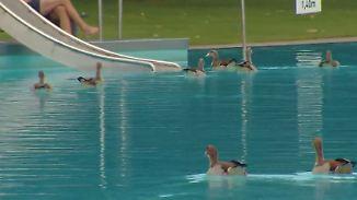 Vogelkot gefährdet Besucher: Frankfurter Freibad gibt Nilgänse zum Abschuss frei