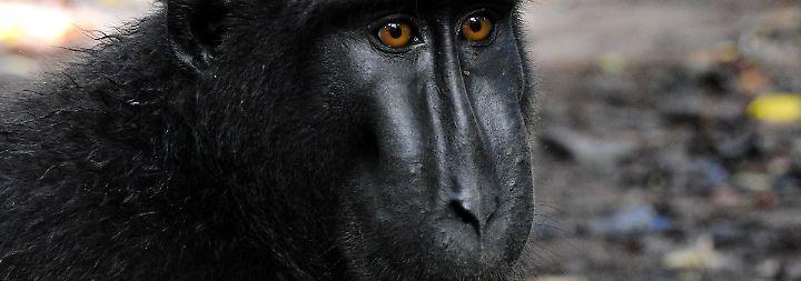 Streit um Selfie von Makake Naruto: Fotograf und Tierschützer beenden Affentheater