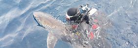 """Nach eintägigem Landausflug: Hai """"Fluffy"""" ist wieder im Meer"""