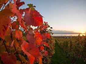 Viele ausgezeichnete Weine gibt es in der Region um Hagnau.