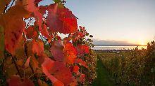 Felchenkaviar, Wein und Äpfel: Schlemmerurlaub zur Erntezeit am Bodensee