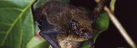 Mehr Arten am Rand des Abgrunds: Keine Hoffnung für winzige Fledermaus