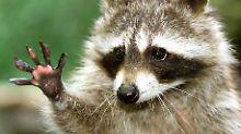 """Der Waschbären-Krieg von Toronto: Die """"Müll-Pandas"""" schlagen zurück"""