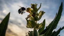 Kampf um wertvollen Nektar: Warum Hummeln unter Linden sterben