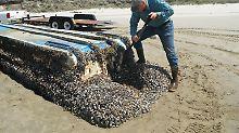 289 Tierarten überstanden die Reise über den Pazifik - so auch diese Muscheln, die auf einem japanischen Boot am Strand von Long Beach angespült wurden.