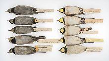 Dreck der Vergangenheit: Vogelfedern zeigen frühere Verschmutzung