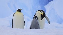 Sehr dickes Eis in Antarktis: Tausende Pinguin-Küken verhungern