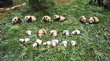 Kaum zu glauben, aber wahr: China präsentiert flauschigen Panda-Nachwuchs
