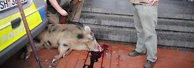 Das war im Oktober 2017: In der Innenstadt von Heide griffen zwei aggressive Wildschweine Passanten an. Eines wurde später erschossen.