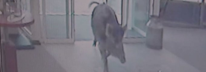 Vier Verletzte in Heide: Wildschweine wüten in Sparkasse