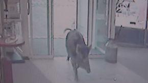 Vier Menschen verletzt: Aggressive Wildschweine greifen Passanten in Heide an